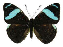 Image of <i>Nessaea aglaura</i> Doubleday (1848)