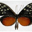 Image of Callithomia