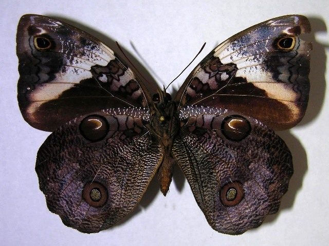 Image of <i>Opsiphanes jacobsorum</i>