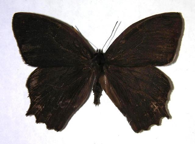 Image of <i>Taygetis salvini</i> Staudinger 1888