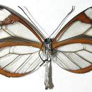 Image of Pseudoscada