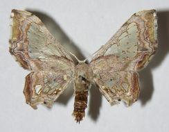 Image of Pseudasellodes
