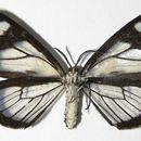Image of <i>Pseudomennis dioptoides</i> Warren 1905