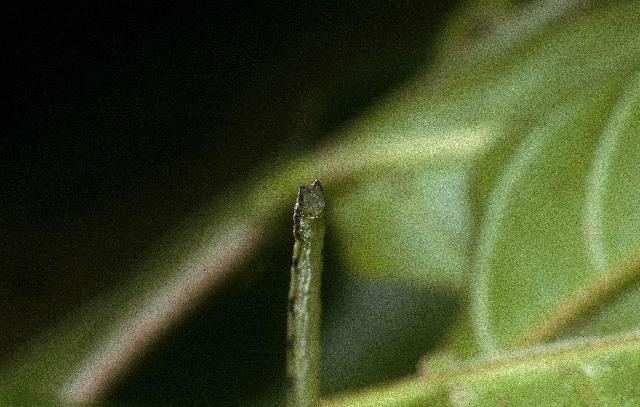 Image of <i>Ptychamalia cumana</i> Schaus 1901