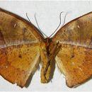Image of <i>Acrotomia mucia</i> Druce 1892