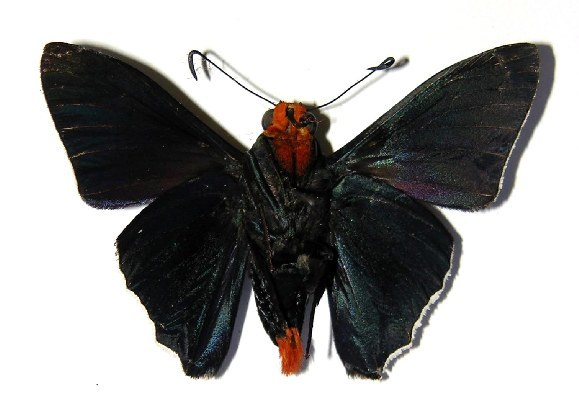 Image of <i>Passova gellias</i> Godman & Salvin 1893