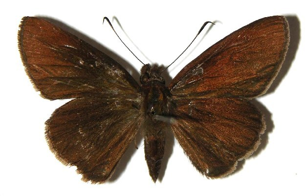 Image of <i>Enosis angularis</i> Möschler 1876