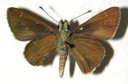 Image of Liris Skipper
