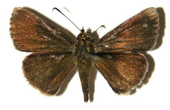 Image of <i>Mnasicles hicetaon</i> Godman 1901