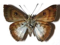 Image of Cyclosemia