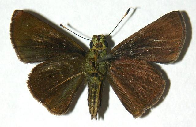 Image of Anthoptus