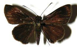 Image of <i>Methionopsis ina</i> Plötz 1882