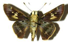 Image of Violet-banded Skipper