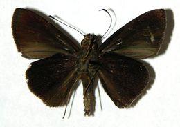 Image of Methionopsis