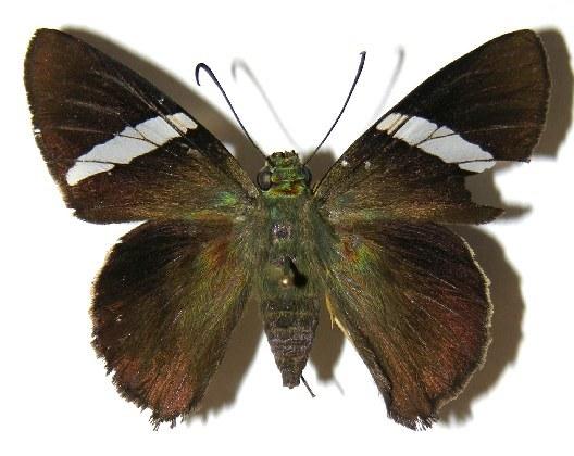 Image of <i>Calliades zeutus</i> Möschler 1878