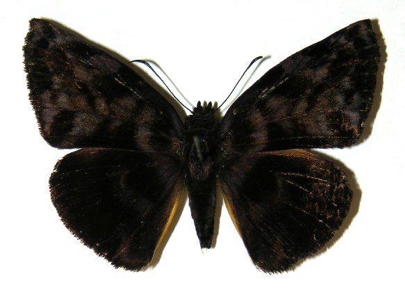 Image of <i>Ebrietas osyris</i> Staudinger 1876