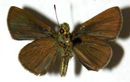 Image of <i>Anthoptus epictetus</i> Fabricius 1793