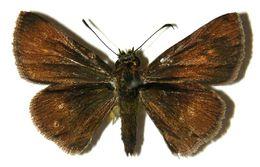 Image of <i>Corticea lysias</i> Plötz 1883