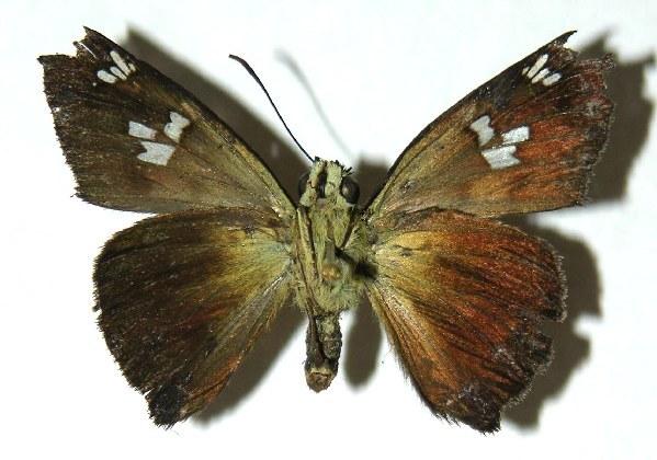 Image of Telemiades