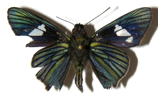 Image of <i>Synale cynaxa</i> Hewitson 1868