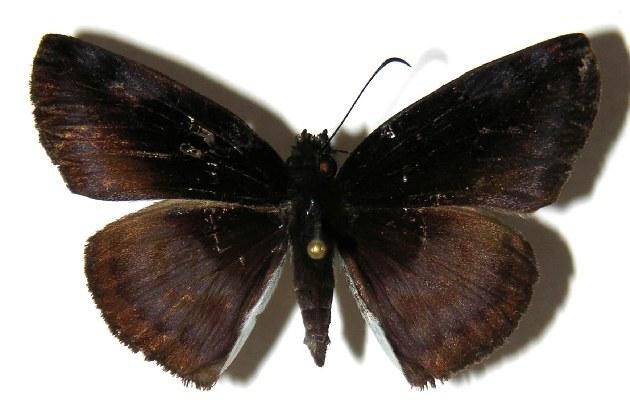 Image of <i>Anastrus neaeris</i>