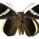 Image of <i>Orses cynisca</i> Swainson 1821