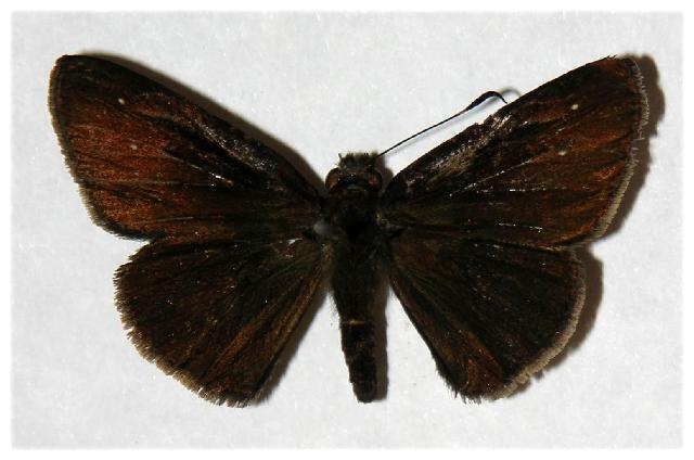Image of <i>Eutychide paria</i> Plötz 1882