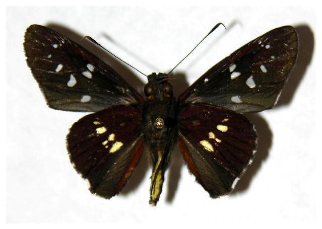 Image of <i>Carystina aurifer</i> Godman & Salvin 1879
