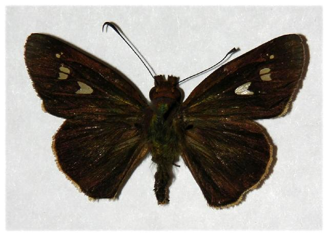 Image of <i>Vertica subrufescens</i> Schaus 1913
