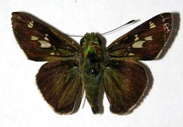 Image of Oxynthes