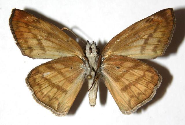 Image of <i>Timochares trifasciata</i> Hewitson 1868
