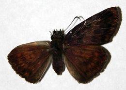 Image of <i>Anastrus sempiternus</i> Butler & Druce 1872