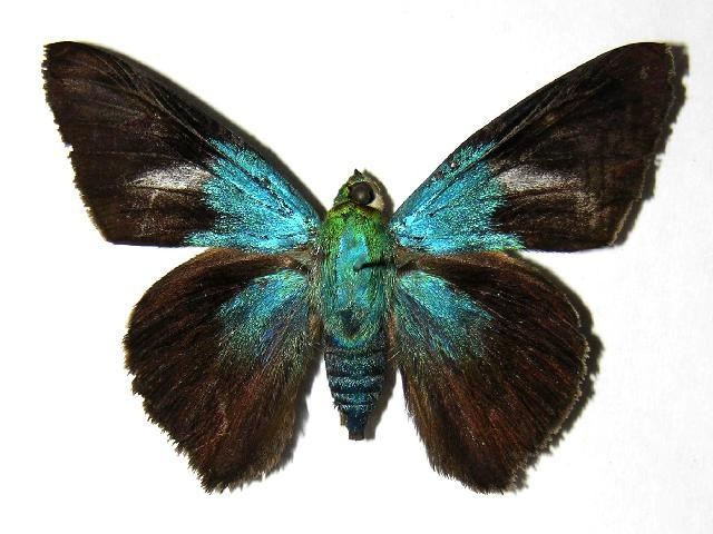 Image of Astraptes
