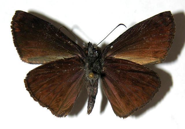 Image of <i>Camptopleura theramenes</i> Mabille 1877