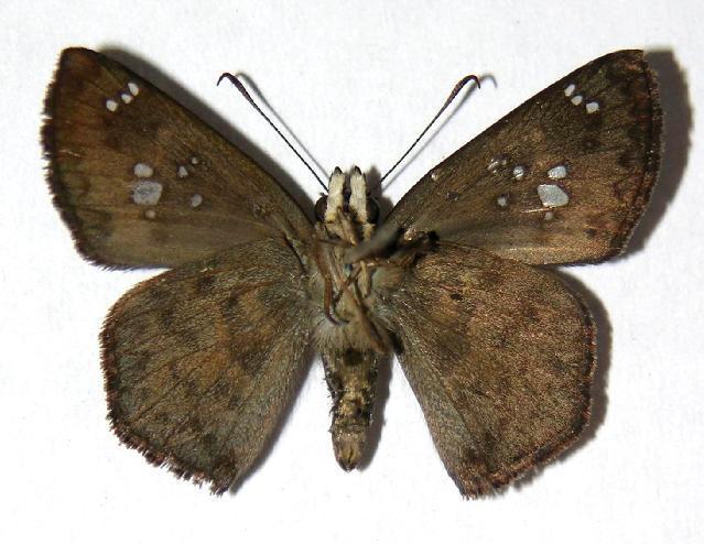 Image of <i>Polyctor enops</i> Godman & Salvin 1894