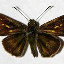 Image of Parphorus