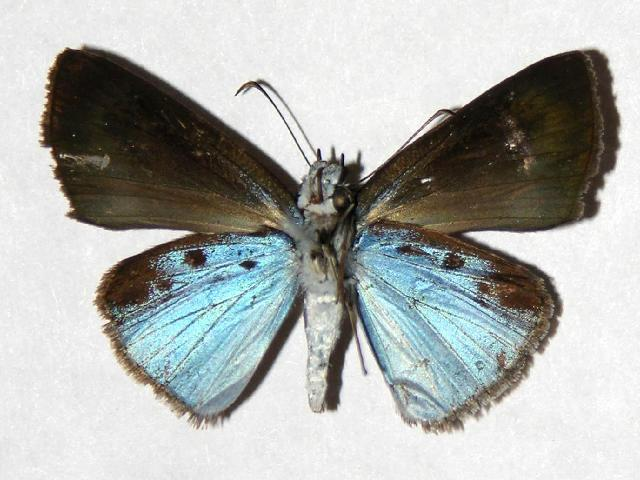 Image of <i>Pythonides pteras</i> Godman & Salvin 1895