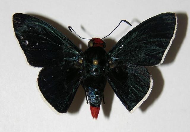 Image of Pyrrhopyge