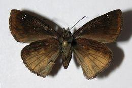 Image of Nisoniades