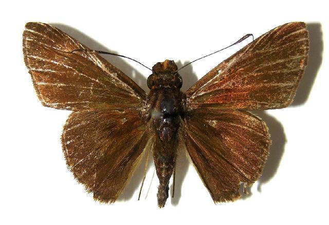 Image of <i>Vettius tertianus</i> Herrich-Schäffer 1869