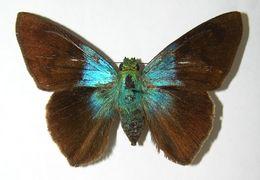Image of <i>Astraptes creteus crana</i> Evans 1952
