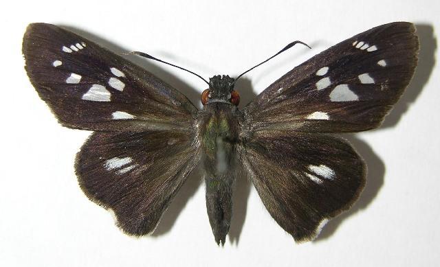 Image of <i>Carystus phorcus</i> Cramer 1777