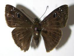 Image of <i>Morvina fissimacula pelarge</i> Godman & Salvin 1893