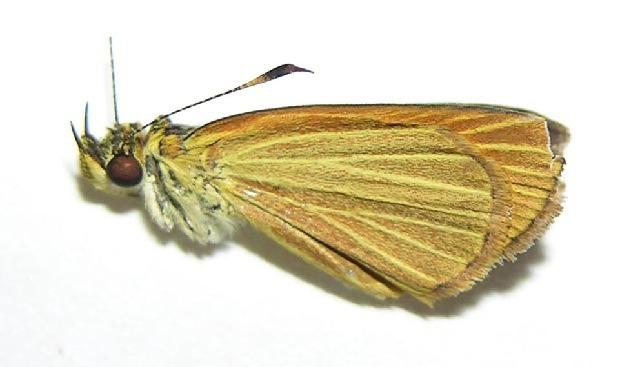 Image of <i>Lento xanthina</i> Mabille 1891