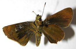 Image of <i>Corticea corticea</i> Plötz 1883