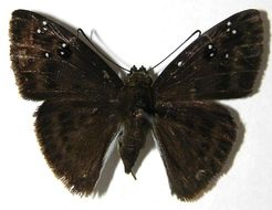 Image of Morvina