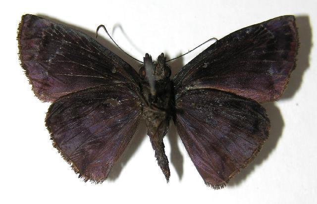 Image of <i>Ebrietas evanidus</i> Mabille 1897