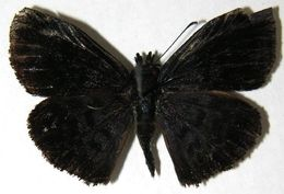 Image of <i>Camptopleura auxo</i> Möschler 1878