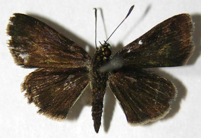 Image of Radiant Skipper