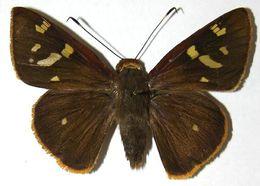 Image of <i>Talides sinois</i> Hübner 1819
